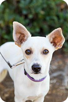 Corgi/Jack Russell Terrier Mix Puppy for adoption in San Diego, California - Ballou