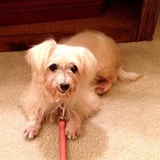 Maltese/Terrier (Unknown Type, Medium) Mix Dog for adoption in Alpharetta, Georgia - Esmee