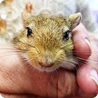 Adopt A Pet :: Gigantor - Lewisville, TX
