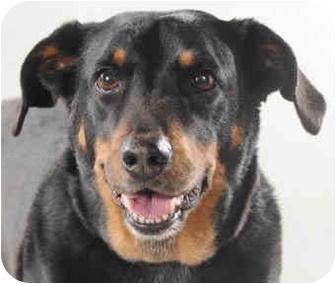 Gigi | Adopted Dog | Chicago, IL | Australian Shepherd ...