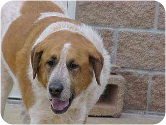 St. Bernard/Great Pyrenees Mix Dog for adoption in Burnsville, North Carolina - Chewie-URGENT