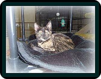 Domestic Shorthair Cat for adoption in Medford, Wisconsin - RISA