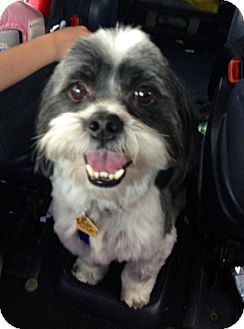 Shih Tzu Mix Dog for adoption in Homewood, Alabama - Bandit