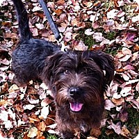 Adopt A Pet :: Scottie - Nashville, TN