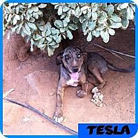 Adopt A Pet :: Tesla - Orange Cove, CA