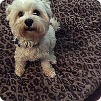 Adopt A Pet :: MADDOX - Encino, CA
