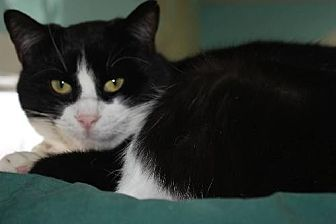 Domestic Shorthair Cat for adoption in Iroquois, Illinois - Scrappy