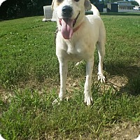 Labrador Retriever Mix Dog for adoption in Owenboro, Kentucky - BELLA