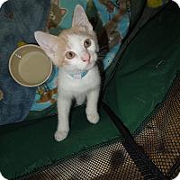 Adopt A Pet :: Buttercup - Medina, OH