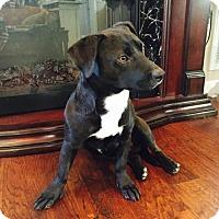 Adopt A Pet :: Chippie - Nashville, TN