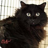 Turkish Angora Cat for adoption in Santa Fe, New Mexico - Horst