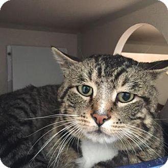 Domestic Shorthair Cat for adoption in Denver, Colorado - Tobias