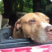 Staffordshire Bull Terrier/Labrador Retriever Mix Dog for adoption in Franklinville, New Jersey - Sammy