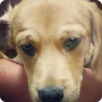 Adopt A Pet :: Sampson - Keyport, NJ