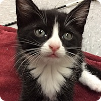 Domestic Mediumhair Kitten for adoption in San Jose, California - Tootsie