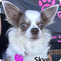 Adopt A Pet :: Sky - Lake Forest, CA