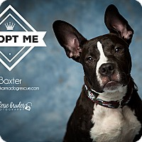 Adopt A Pet :: Baxter - Bergen County, NJ