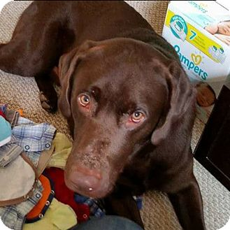 Labrador Retriever Dog for adoption in Baltimore, Maryland - Avery (COURTESY POST)