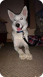 Siberian Husky Mix Dog for adoption in Cavan, Ontario - Jasper
