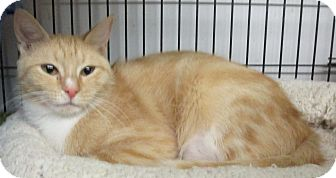Domestic Shorthair Cat for adoption in Reeds Spring, Missouri - Lioness