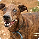 Adopt A Pet :: Maximus
