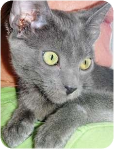 Russian Blue Kitten for adoption in Pasadena, California - Halina
