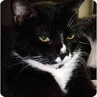 Domestic Shorthair Cat for adoption in Orlando, Florida - Sue Sue