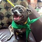 Adopt A Pet :: Chi-Chi