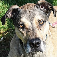 Great Dane/Boxer Mix Dog for adoption in Huntley, Illinois - Boscoe