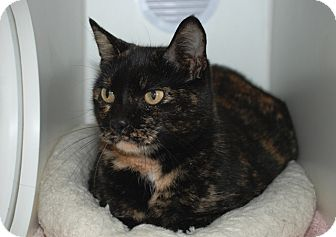 Domestic Shorthair Cat for adoption in Putnam Hall, Florida - Gingerbread