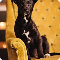 Adopt A Pet :: Heckle - Portland, OR