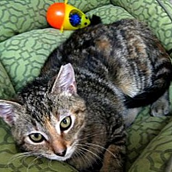 Photo 2 - Domestic Shorthair Cat for adoption in Deerfield Beach, Florida - Penny