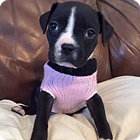 Adopt A Pet :: Spunky Brewster - Newtown, CT