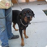 Adopt A Pet :: Gus (Alejandro) - Tracy, CA