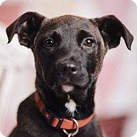 Adopt A Pet :: Noir - Portland, OR