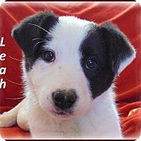 Adopt A Pet :: Leah-Adoption Pending - Marlborough, MA