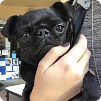 Adopt A Pet :: Biggie Smalls (puggy) - Manhattan Beach, CA
