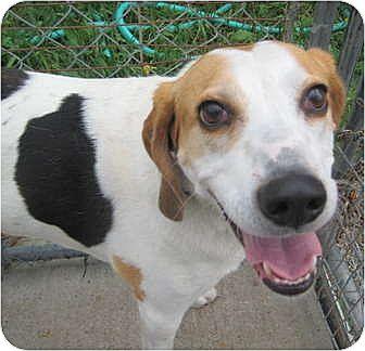 Treeing Walker Coonhound Dog for adoption in Saranac Lake, New York - Genny