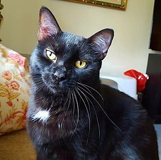 Domestic Shorthair Cat for adoption in Wayne, New Jersey - Tron