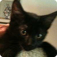 Domestic Shorthair Kitten for adoption in Madisonville, Louisiana - Eric