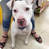 Adopt A Pet :: IVY - Traverse City, MI