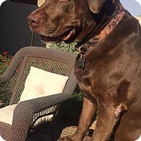Adopt A Pet :: CHOCOLATE - Chandler, AZ