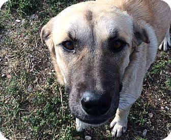 Akbash/Anatolian Shepherd Mix Dog for adoption in Buffalo, Wyoming - Lady