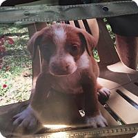 Adopt A Pet :: Gemini - Hohenwald, TN