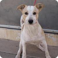 Adopt A Pet :: Joker - Stillwater, OK
