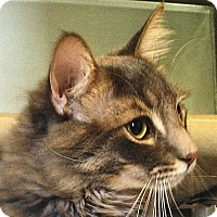 Maine Coon Cat for adoption in Port Angeles, Washington - Reggie