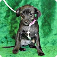 Adopt A Pet :: Siddion - Yreka, CA