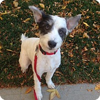 Adopt A Pet :: Dilly - Westminster, CO