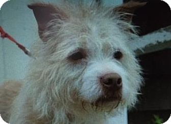 Norfolk Terrier Mix Dog for adoption in Danbury, Connecticut - Mr. Wacky