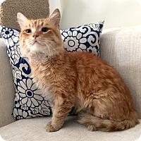 Adopt A Pet :: Lion King - Addison, IL